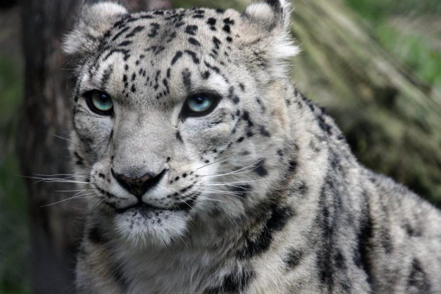 Captan en Rusia, por primera vez en años, al leopardo de las nieves