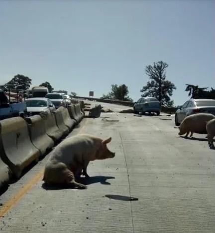 Se vuelca un trailer con cerdos y los pobladores se los roban