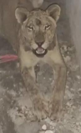 Abandonan a una leona en casa de Nuevo León