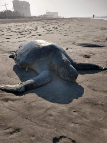 Aumenta a 30 el número de tortugas muertas en Guerrero