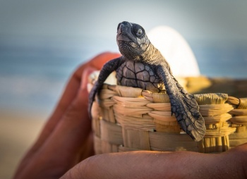 160 tortugas rescatadas en Bangladesh, estaban atrapadas en residuos plásticos