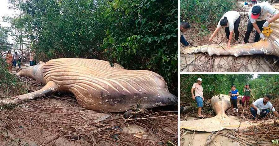 Resultado de imagen para ballena jorobada cadáver amazonas
