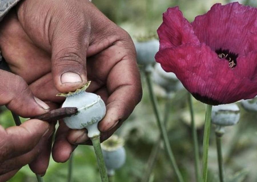 Piden analizar legalización de amapola