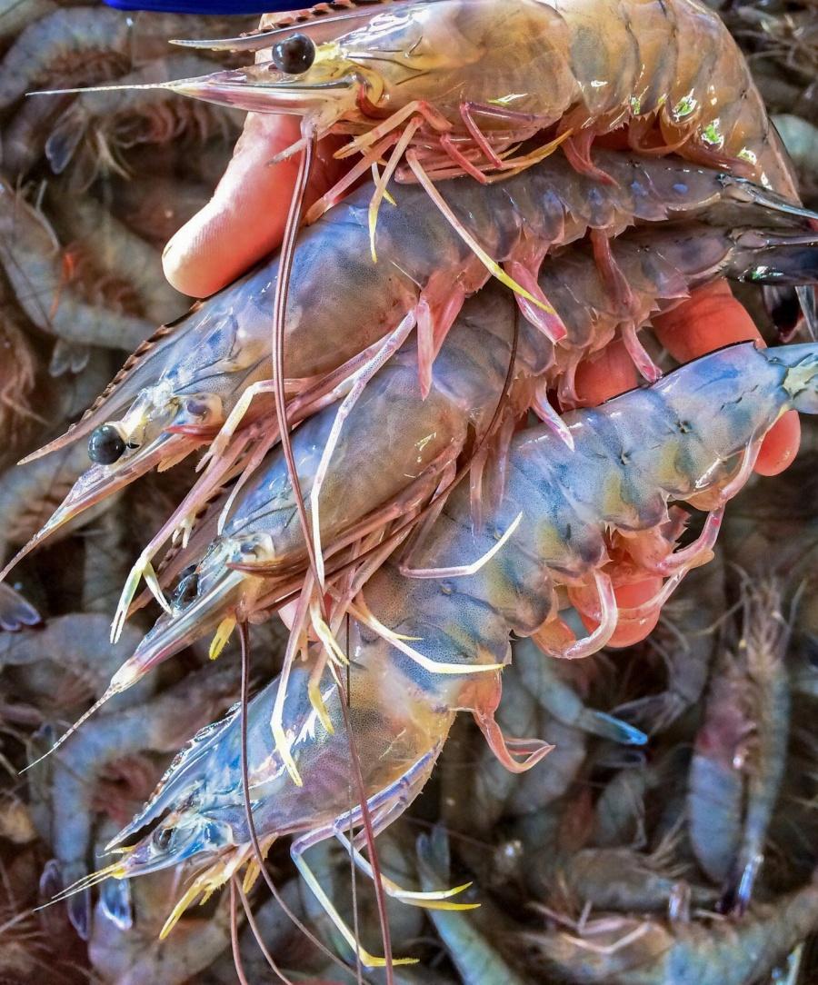 CONAPESCA anuncia inicio de veda de camarón en el Océano Pacífico