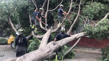 Laboran en retiro de árbol que cayó en la Guerrero