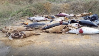 Encuentran delfines mutilados en playa de Francia