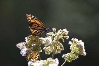 La UNAM anuncia riesgo sobre la migración de la mariposa Monarca