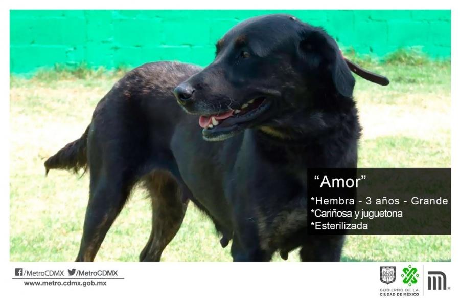 """El Metro pone en adopción a """"Amor"""""""
