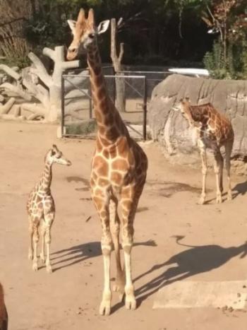 """""""Jira-Fifí-ta"""" será el nombre de la jirafa bebé de Chapultepec"""
