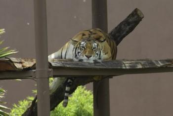 Muere tigre 'Shere Khan' en Zoológico de San Juan de Aragón