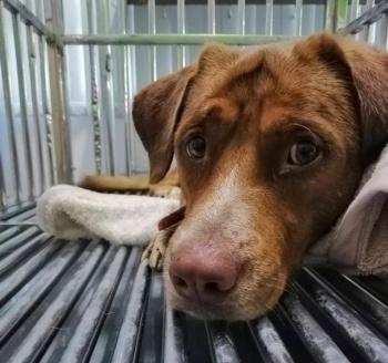 Un perro en Tailandia fue rescatado luego de nadar 200 km