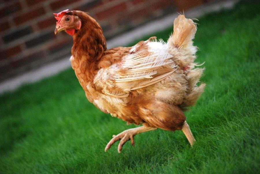 ¡Increíble! Perro salva a gallina en medio de inundación