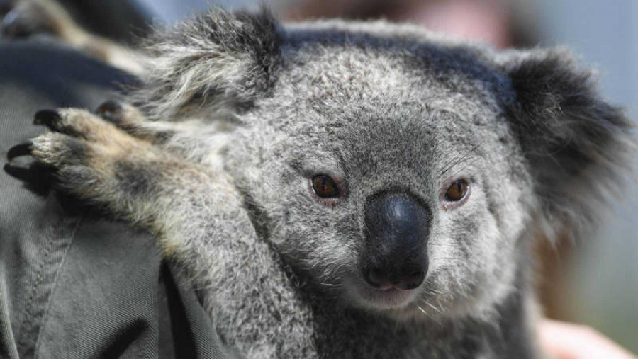 ONG alerta extinción de Koalas