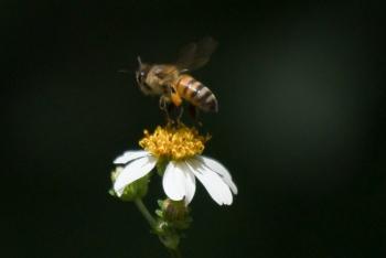 Alertan sobre extinción de abejas en México