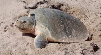 Con participación ciudadana, protegen especie de tortuga lora