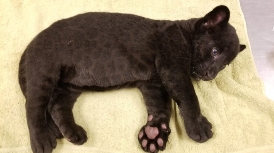 Presentan jaguar negro en Zoológico de Culiacán