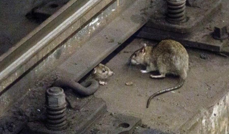 Plaga interminable de ratas azota Nueva York