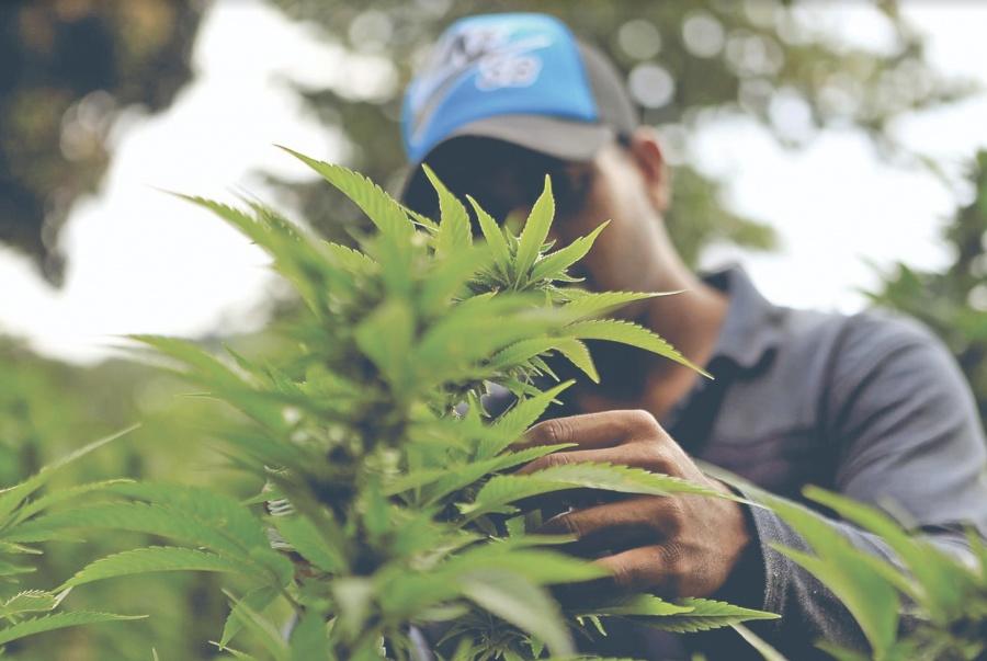 Mercado de Mariguana deja 6 mmdd al año en Colombia