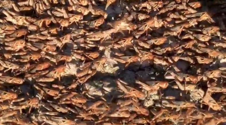 Cerdeña atacada por la peor plaga de langosta en 70 años