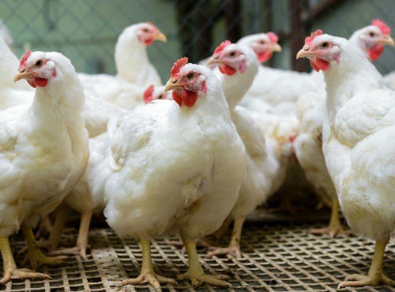 Modifican genoma de pollos para acabar con gripe aviar