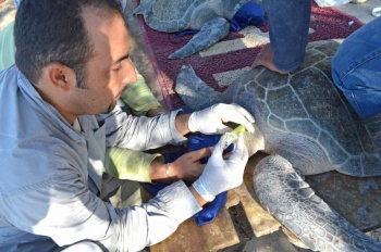 IPN estudia tumoraciones en tortugas en peligro de extinción