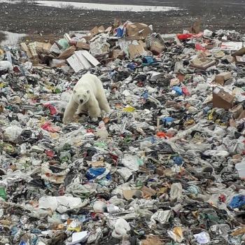Un oso polar busca comida entre la basura de una zona industrial en Rusia