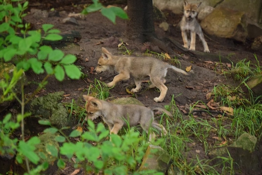 Seis lobos mexicanos nacen en el Zoológico de Chapultepec