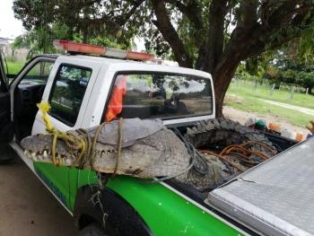 Capturan un cocodrilo de 3 metros y medio en Oaxaca