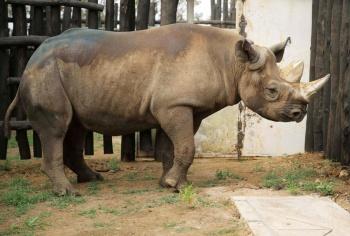 Reserva en Ruanda recibe a rinocerontes en peligro de extinción