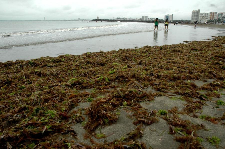 Sargazo verde llega a playas de Boca del Río, Veracruz