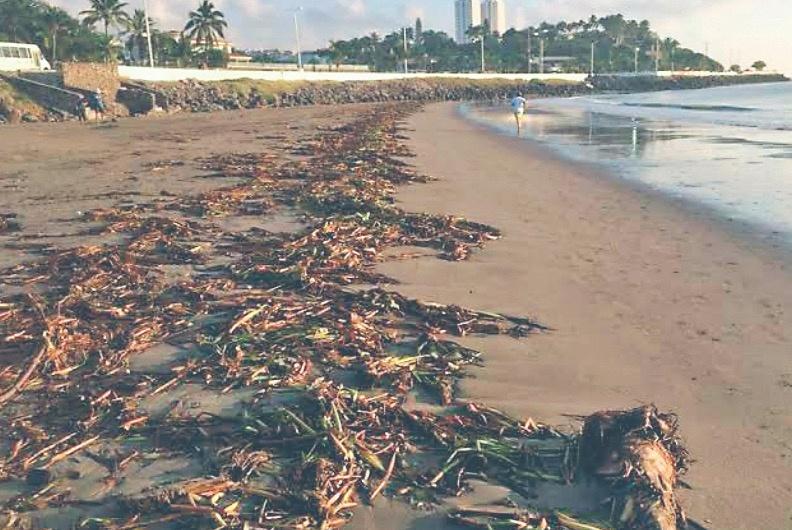 Llega sargazo verde a playas de Veracruz