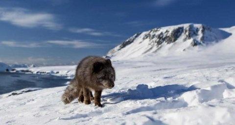 Zorro ártico camina 3.500 km desde Noruega hasta Canadá