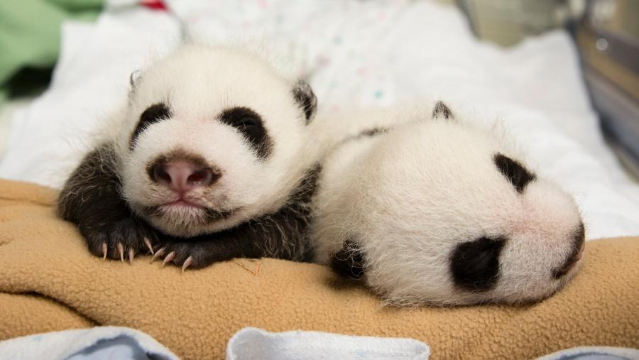 Panda gigante da a luz a los gemelos más pesados en cautiverio