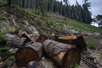 "Pobladores de Veracruz talan árboles para ingresar al programa ""Sembrando Vida"""