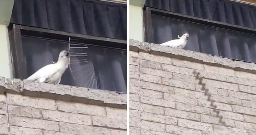 Cacatúa arroja púas anti aves a peatones