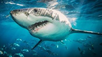 Alertan sobre riesgo de desaparición de tiburones en el Mediterráneo