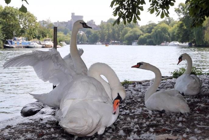 Buckingham realiza censo de… ¿los cisnes de la Reina Isabel?