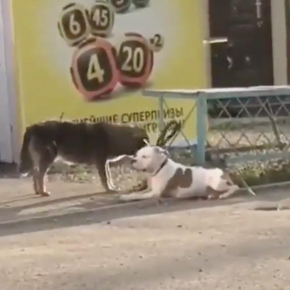 Perrito desata correa de un pitbull y se van a pasear