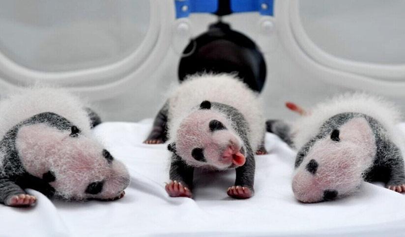 Nacen dos pares gemelos de panda en zoológico de China
