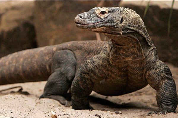 Indonesia cerrará la isla de Komodo para salvar a los dragones