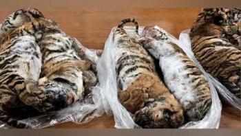Encuentran siete tigres cachorros congelados dentro de un auto