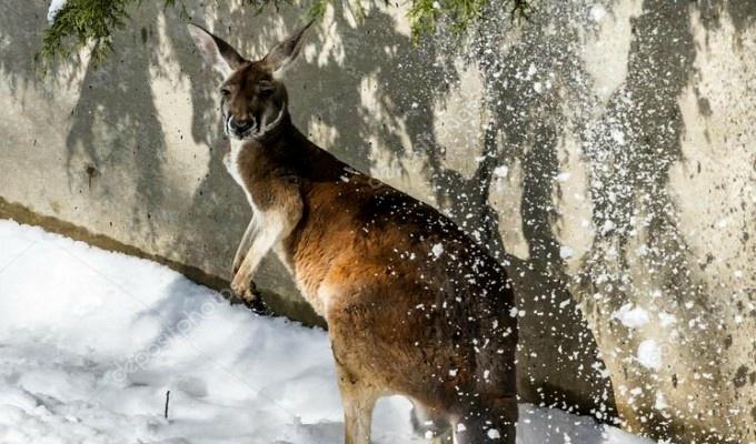 Canguros disfrutan de saltar en la nieve en Australia