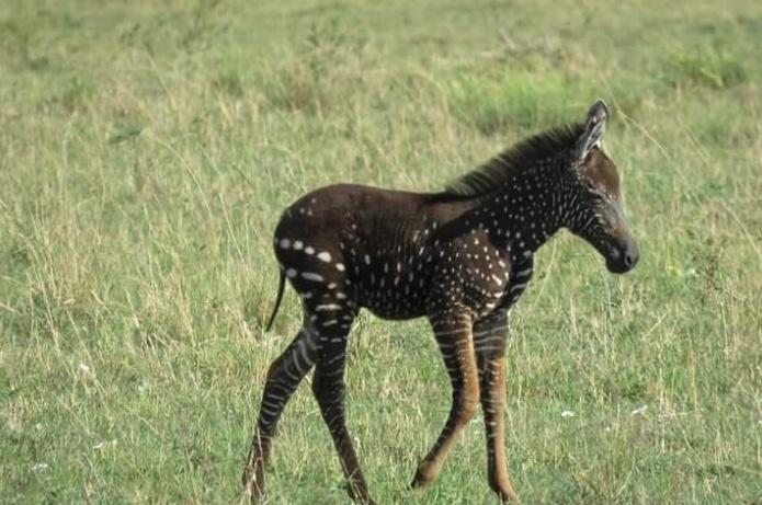 Encuentran a una cebra con puntos en lugar de rayas en Kenia