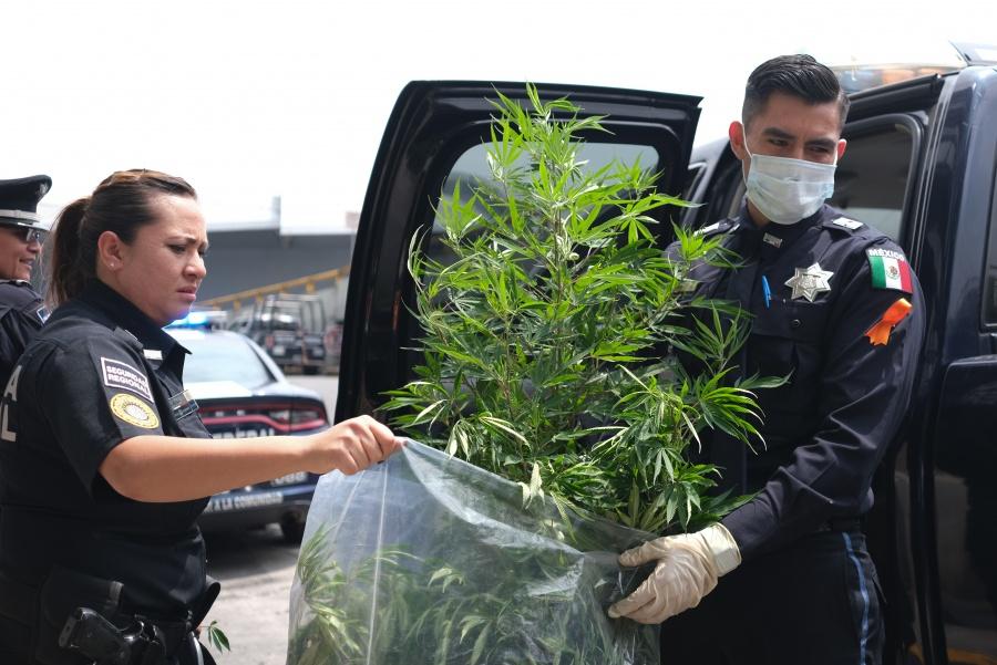 Encuentran planta de marihuana en el AICM