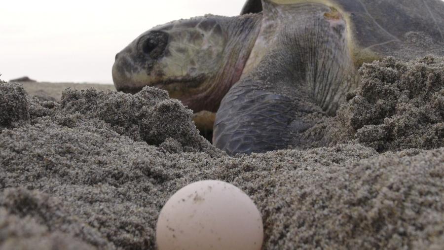 "Se pierden 8.4 millones de huevos de tortuga tras paso de ""Narda"""