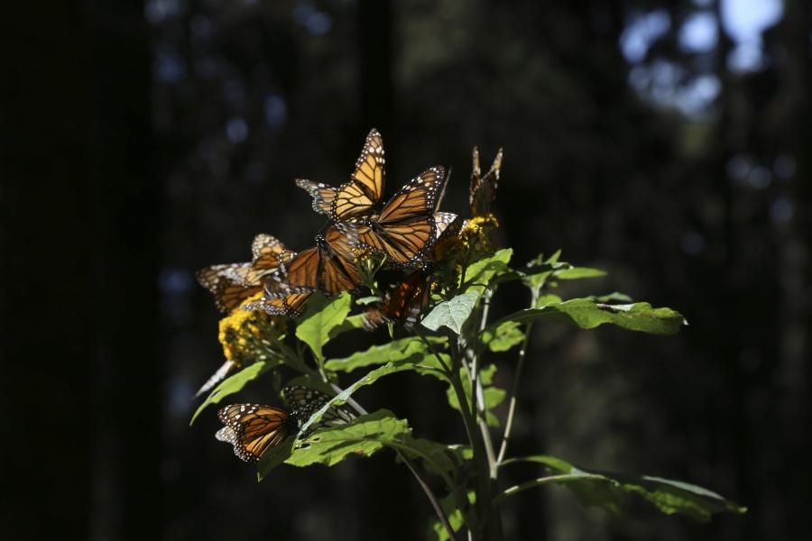 Se suma el Senado a las iniciativas para conservar la ruta de la mariposa Monarca