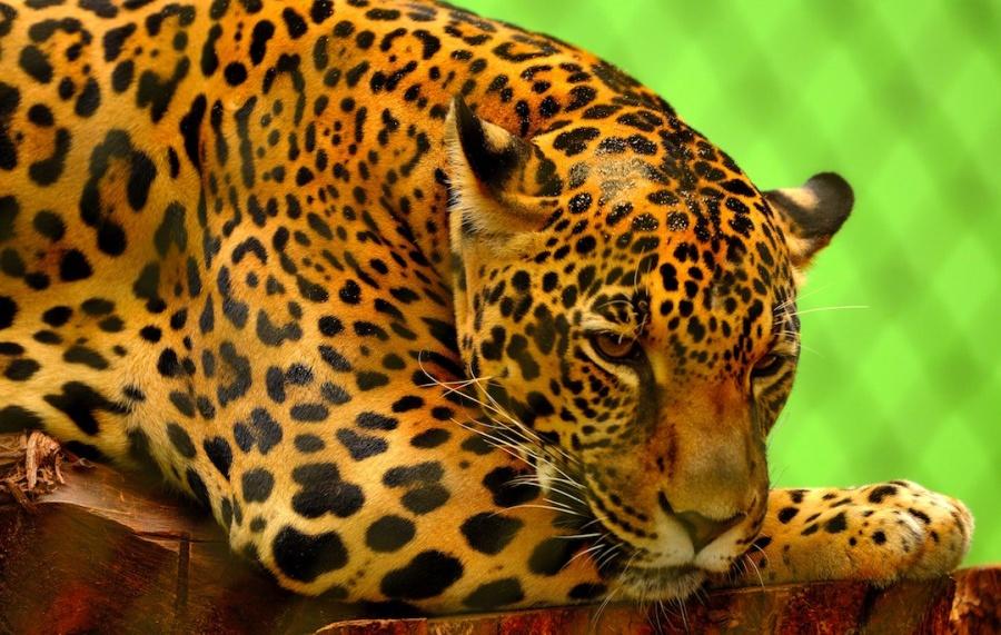 Piden sea delito grave el trafico ilegal del jaguar