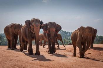 Mueren cientos de elefantes y personas por conflicto de territorio en Sri Lanka