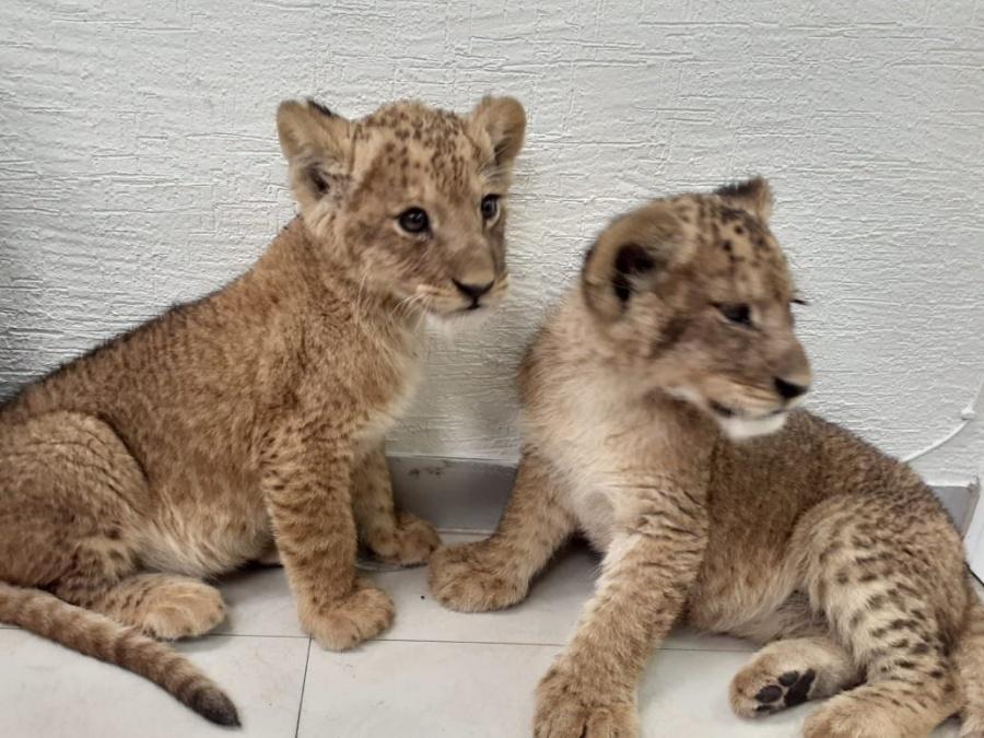 Rescatan a dos cachorros de león que pretendían ser vendidos en Chalco