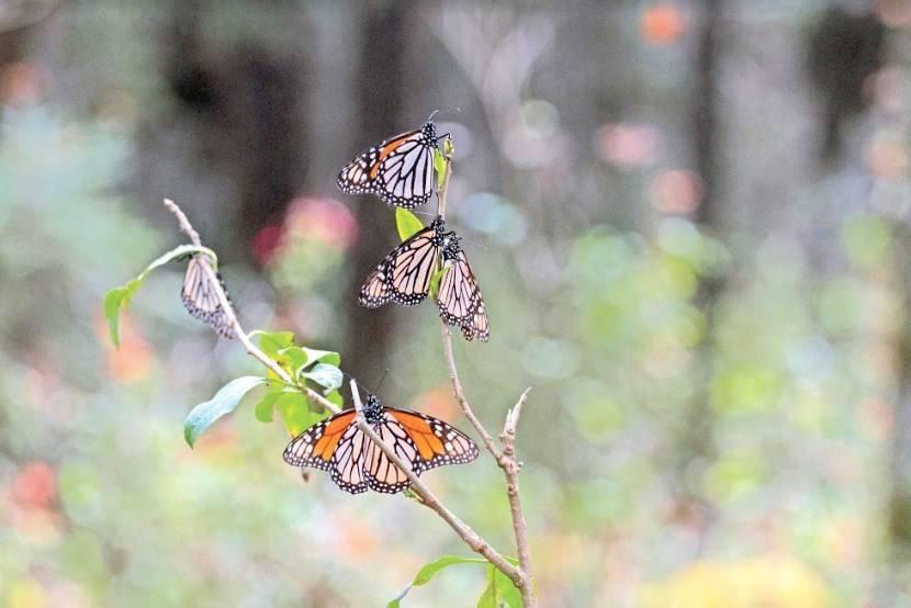 Sequía y caída de árboles amenazan migración de Mariposas